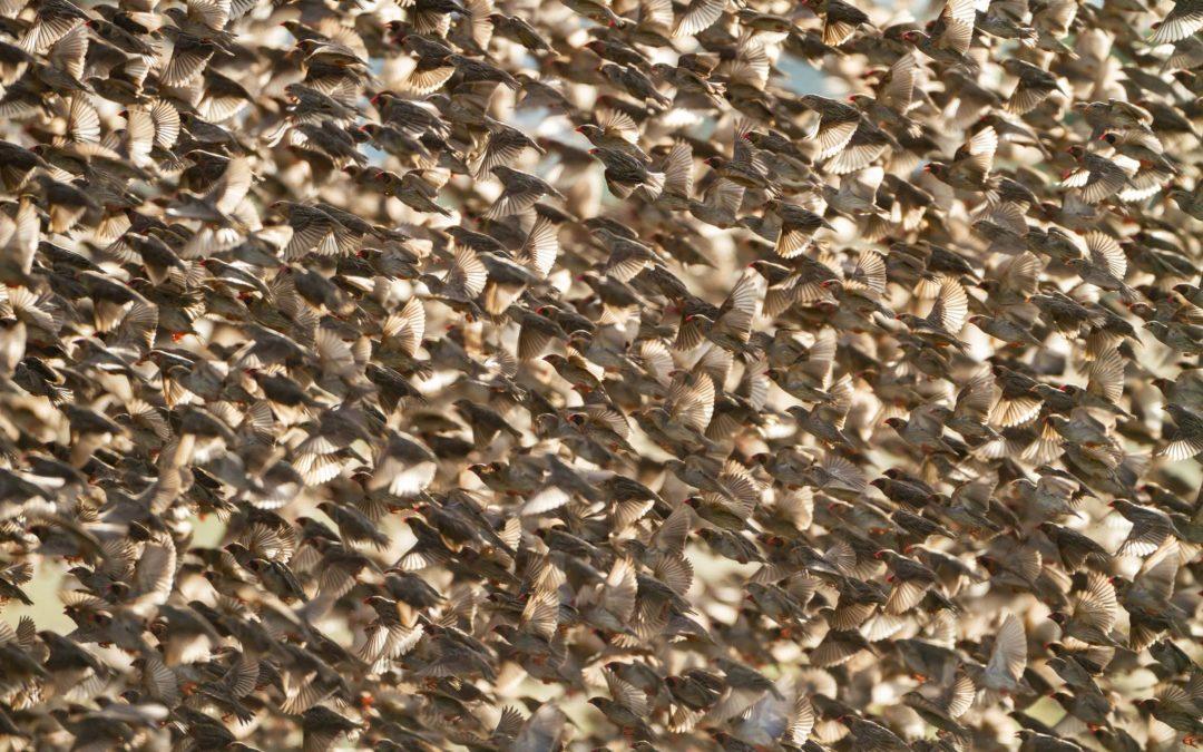 Fotografiando el ave más abundante del mundo