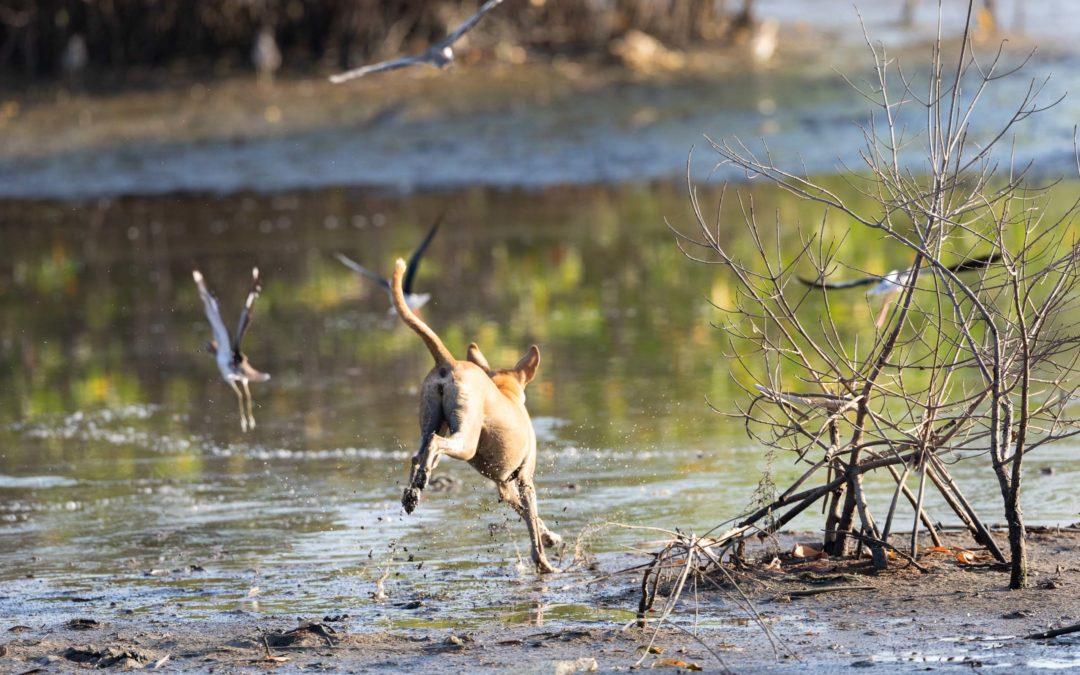 Perros silvestres, de mascota a depredador